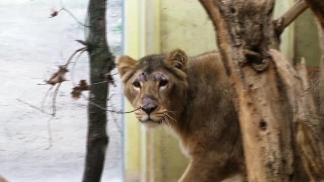 Neue Löwin im Frankfurter Zoo