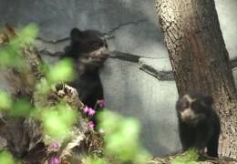 Brillenbär-Zwillinge auf Entdeckungstour im Frankfurter Zoo