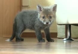 Fuchsbaby wird aufgepeppelt