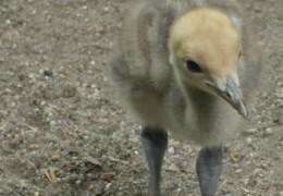 Kranich-Nachwuchs im Frankfurter Zoo