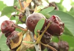 Schädlinge bedrohen die Kirschernte in Rheinland-Pfalz