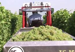 Bundesweiter Start der Weinlese
