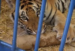 Was macht ein Tiger im Rüsselsheimer Tierheim?