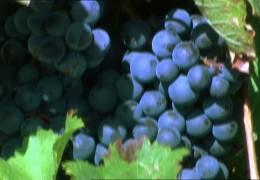 Weinbaugebiet Rheinhessen auf dem Vormarsch