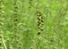 Albtraum aller Allergiker: Ambrosia