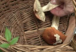 Gutes Wetter für Pilzsammler