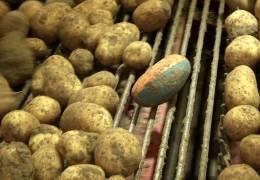 Hightech-Kartoffel auf dem Acker