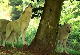 Der den Wolf managt!