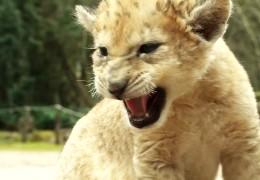 Löwenbaby von der Mutter verstoßen