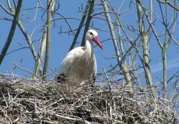 Storchenboom im hessischen Ried