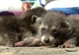 Waschbären-Nachwuchs