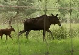 Elchnachwuchs im Wildpark Hanau
