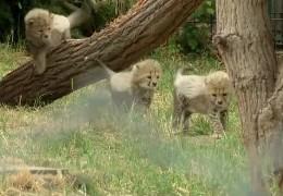 Seltener Gepardennachwuchs in Landau