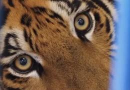 Tiger zieht nach Maßweiler um