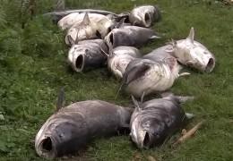 Wieder Fischsterben in Fulda