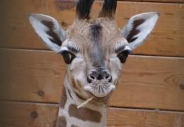 Giraffenbaby Mufaro begeistert Zoobesucher