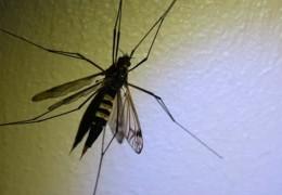 Experten warnen: Deutsche Tigermücke kann Zika-Virus tragen