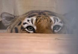 Tiger auf dem OP-Tisch