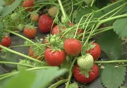 Genussmittel und Wirtschaftsfaktor Erdbeere
