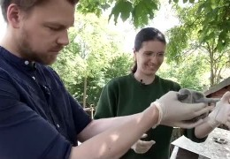 Pinguin-Nachwuchs im Landauer Zoo