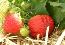 Die Erdbeere der Zukunft