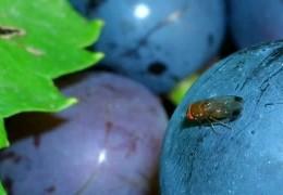 Der Angriff der Kirschessigfliege