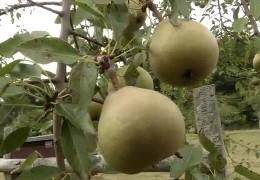 Seltene Birnensorten schützen