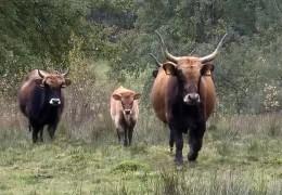 Auerochsen in freier Wildbahn