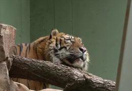 Tiger Vanni wird vorgestellt