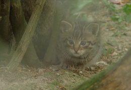 Wildkatzen-Zählung im Nationalpark