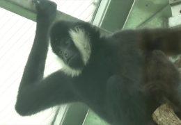 Partnerin für Gibbon Jerry gefunden