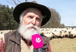 Weniger Weideflächen für Schafe