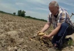 Regionale Kartoffeln als Ladenhüter