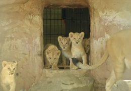 5 kleine Berberlöwen im Neuwieder Zoo