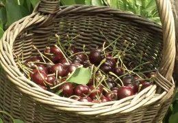 Bauern klagen über Obstklau