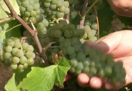 Weinlese startet mit Federweißer in der Pfalz