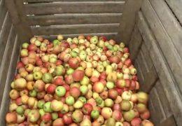 Einbußen bei der Apfelernte