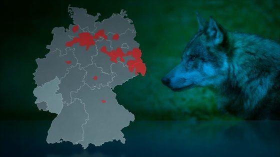 Tierhalter Haben Angst Vor Dem Wolf 1730live Rheinland Pfalzhessen