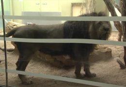 Neuer Löwe im Frankfurter Zoo
