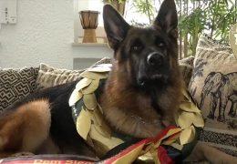 Der schönste Schäferhund der Welt kommt aus Rheinland-Pfalz