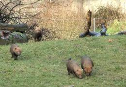 Nachwuchs bei den Waldhunden im Frankfurter Zoo