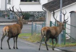 Hirsche zu Gast in Ewersbach