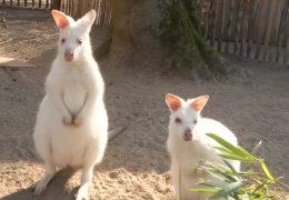 Die weißen Känguruhs von Landau