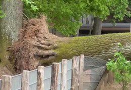 Baum fällt um – Kind wird schwerverletzt