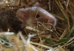Feldhamster gehören zu den bedrohten Tierarten