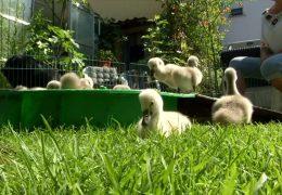 Familie Menssen adoptiert Schwanenküken