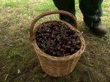 Bauern kämpfen gegen Obstklau