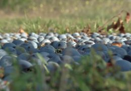 Zu kleines Obst vergammelt im Feld