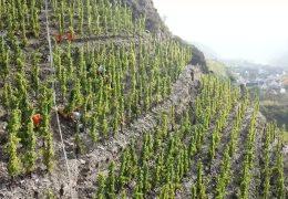 Weinlese im steilsten Weinberg Europas