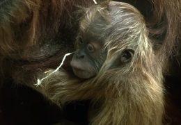 Orang-Utan Nachwuchs im Frankfurter Zoo